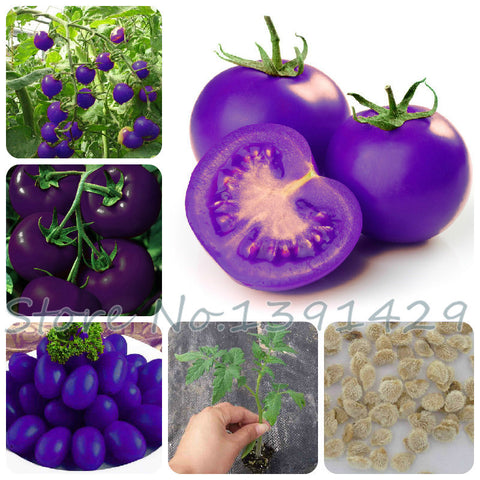 100 pcs Purple sacred tomato seeds for home garden - fitnessbeststore