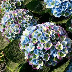 20 pcs/bag hydrangea seed for home garden