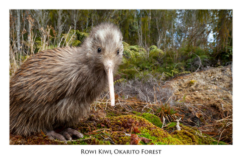 503 - Post Art Postcard - Postcard - Rowi Kiwi