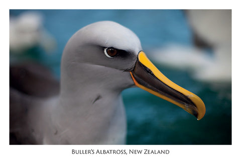 574 - Post Art Postcard - Buller's Albatross