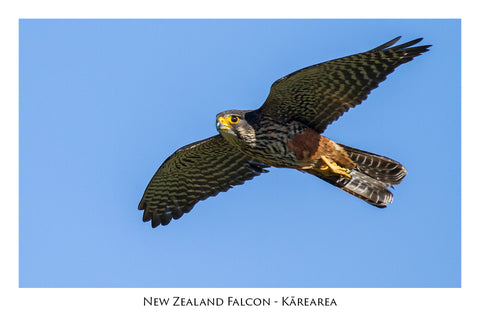 626 - Post Art Postcard - NZ Falcon - Karearea