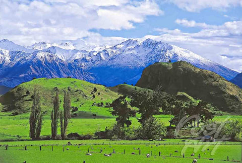 63 - Post Art Postcard - Wanaka Sheep