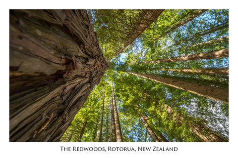 640 - Post Art Postcard - Redwoods Forest