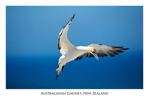 674 - Postcard - Gannet - Cape Kidnappers