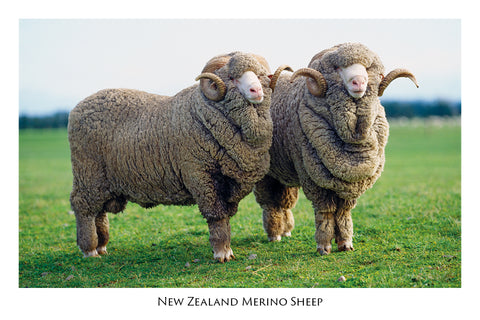 735 - Post Art Postcard - Merino Sheep