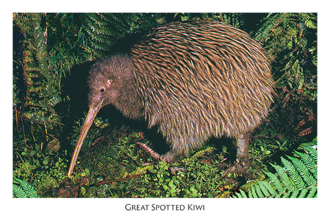 807 - Post Art Postcard - Great Spotted Kiwi
