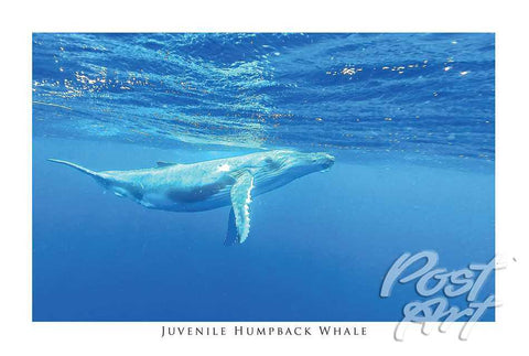 813 - Post Art Postcard - Juvenile Humpback Whale