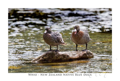 816 - Post Art Postcard - NZ Blue Ducks