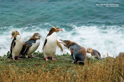 PCL1029 - Sisson Postcard - Yellow Eyed Penguins