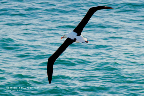 PCL1049 - Sisson Postcard - Albatross Flying