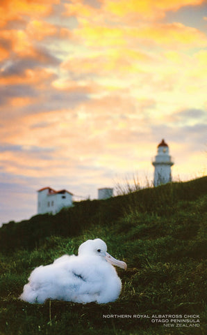 PCL1033 - Sisson Postcard - Albatross Chick & Lighthouse