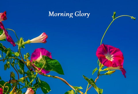 Morning Glory