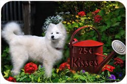 Samoyed Tempered Cutting Board 25 Cent Kisses