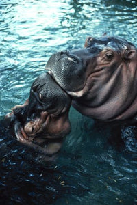Hippos at the Zoo