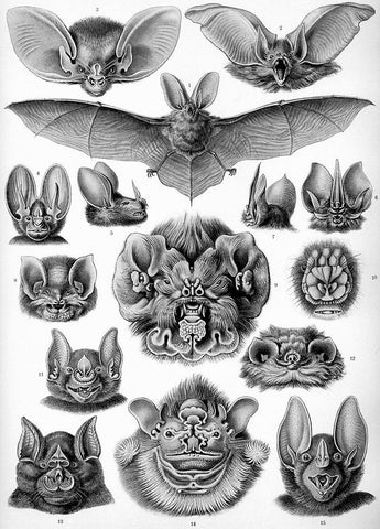 bat drawing 1900's
