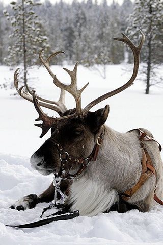reindeer laying in snow