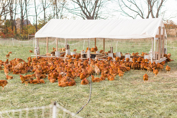Pasture raised chicken on grass outside a mobile chicken coop