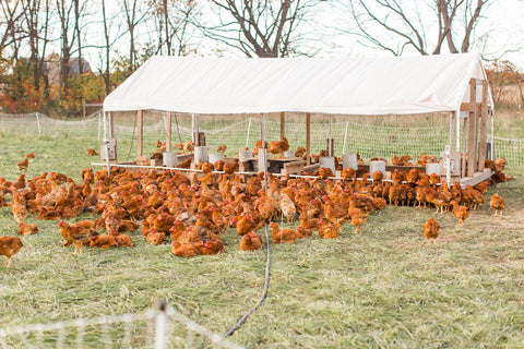 Alden Hills Organic Farms | Free-Range, Pastured Chickens | Chickens reddish in color on a pasture of grass with a lightweight structure with a white rooftop and mesh walls.