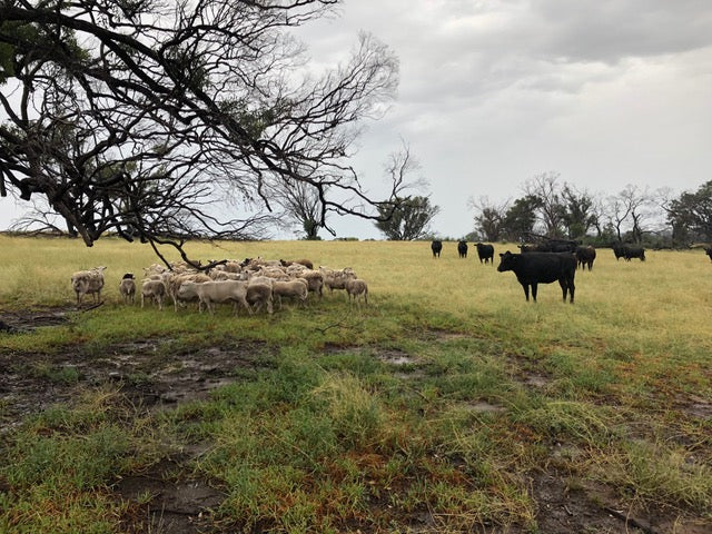 Drought report: Gundooee Organic Wagyu, November 2018