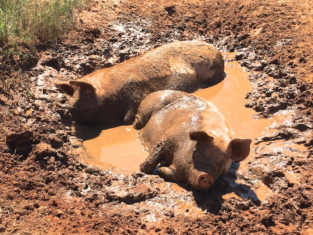 The Pigs of Wallendbeen Park