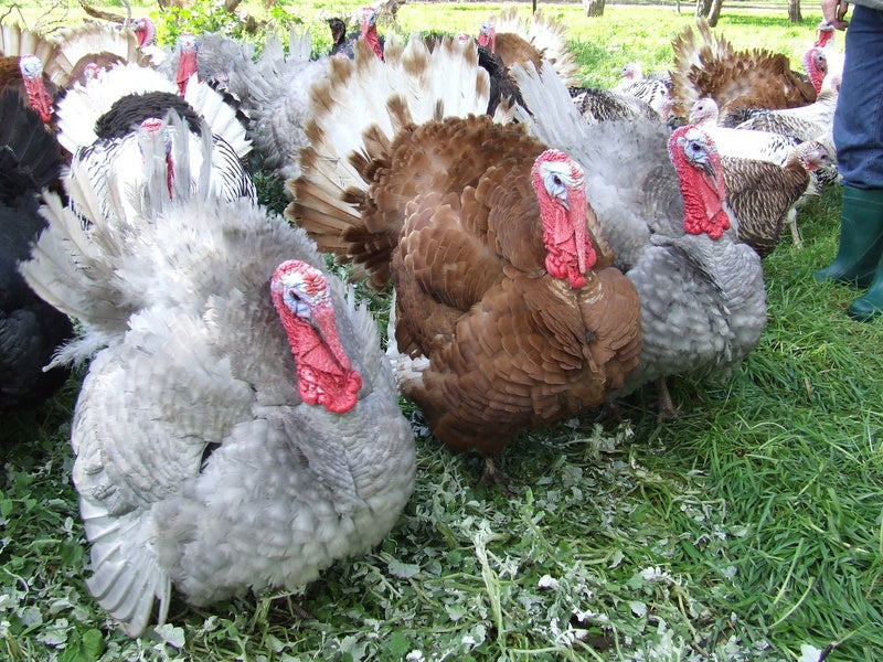 Deutscher Heritage Breed, pasture-raised turkeys