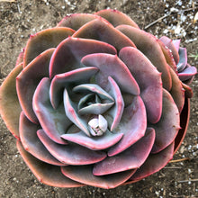 Echeveria 'Dusty Rose'