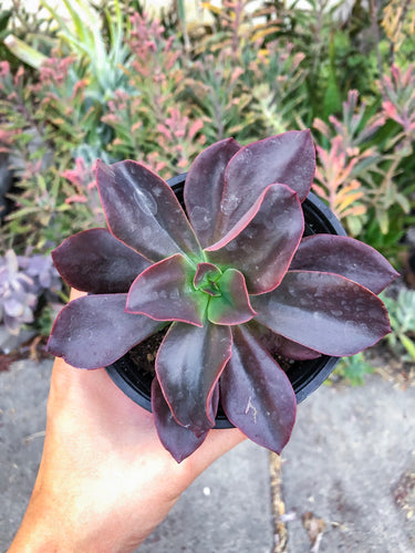 Echeveria UNKNOWN