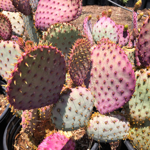 Opuntia 'Violet Prickly Pear' Cutting