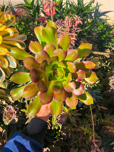Aeonium UNKNOWN