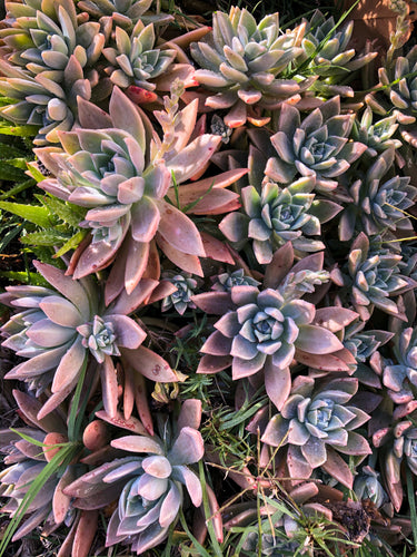 Graptopetalum paraguayense 'Ghost Plant' Cutting