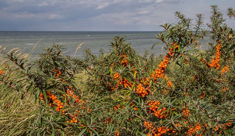 Sea Buckthorn - Fur, Denmark
