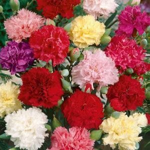 Floral Garden Supply Hybrid Flowers Organic Seeds Flower Seeds Carnation