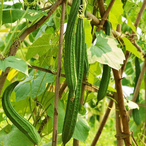 Ridge Gourd Turai Desi Turai Torai Gourd Garden Supply Heirloom Organic Seeds Vegetable Seeds