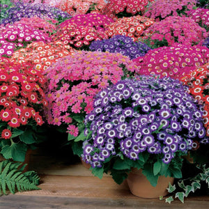 Cineraria Garden Supply Organic Seeds Flower Seeds