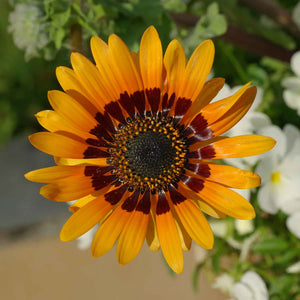 Venidium Garden Supply Hybrid Flowers Organic Seeds Flower Seeds