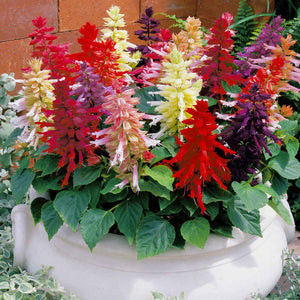 Salvia Garden Supply Hybrid Flowers Organic Seeds Flower Seeds