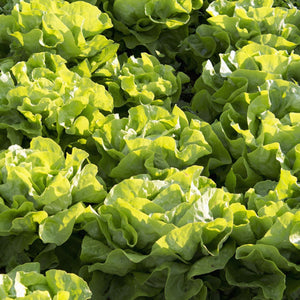 Lettuce Salad Salad Leaves Green Salad Garden Supply Heirloom Organic Seeds Vegetable Seeds