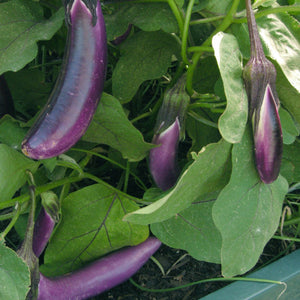 Baigan Baingan Brinjal Egg plant Garden Supply Heirloom Organic Seeds Vegetable Seeds