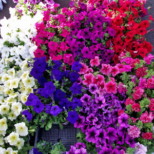 Floral Garden Supply Hybrid Flowers Organic Seeds Flower Seeds Petunia