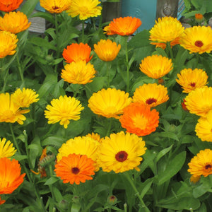 Calendula Garden Supply Organic Seeds Flower Seeds