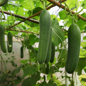 organic kheera cucumber kakdi for salad
