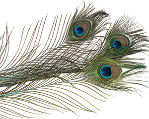 Aqua Stem Dyed Peacock Feather 25-35 inches 100 Pack
