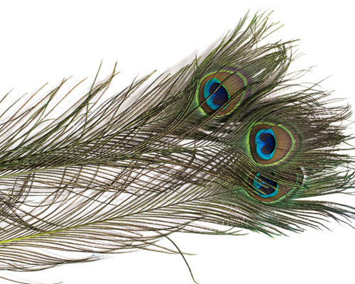 Lime Stem Dyed Peacock Feather 25-35 inches 100 Pack