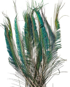 Natural Peacock Sword Feathers 25-35 inches 100 pack