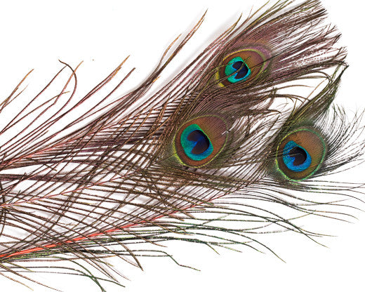 Orange Stem Dyed Peacock Feather 25-35 inches 100 Pack