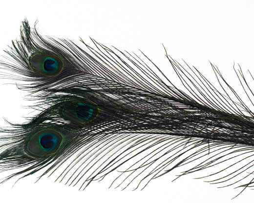Black Bleached and Dyed Peacock Feather 25-35 inches 100 Pack