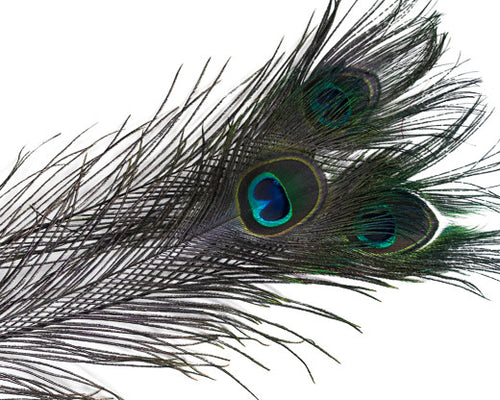 Purple Stem Dyed Peacock Feather 25-35 inches 100 Pack