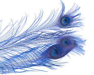 Royal Blue Bleached and Dyed Peacock Feather 25-35 inches 100 Pack