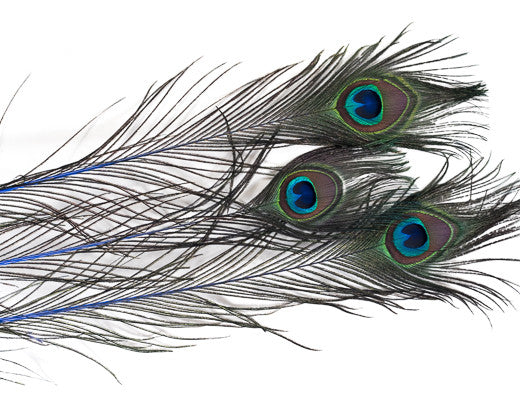 Royal Blue Stem Dyed Peacock Feather 25-35 inches 100 Pack