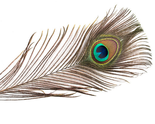 Natural Peacock Feathers 25-35 inches 100 Pack
